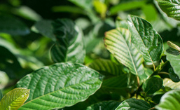 What Is Kratom And What Are Its Benefits and Risks?