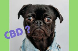 CBD Dosing for Dogs - All of Your Biggest Questions Answered...