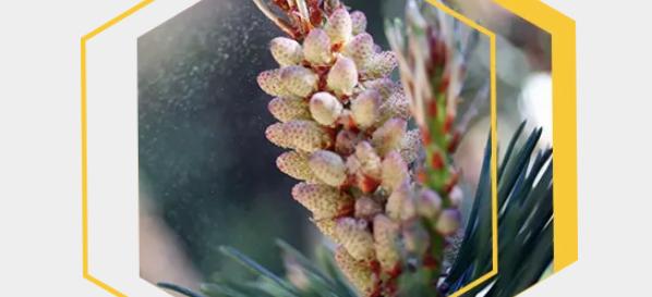 Pine Pollen – Anabolic Health
